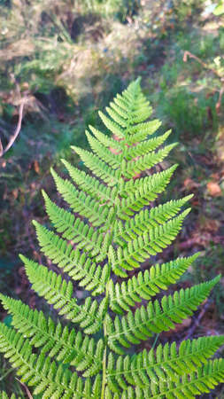 large green leaf on a stalk of a wild fern plant in the forest