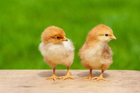 Small chicken friendship. Twin little chicken on green natural background. Family newborn chicken concept. Couple chicken or bird. Reklamní fotografie