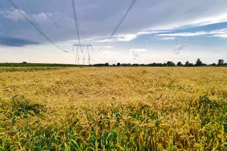 Wheat field in countryside. Agriculture farm background. Harvesting season 版權商用圖片