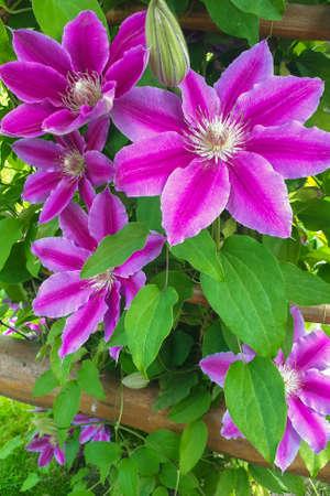 Blossom clematis flower. Natural purple spring plant flower. Gardening concept background