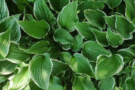 Green leaves background. Eco wallpaper, foliage background. Outdoor leaf texture 版權商用圖片
