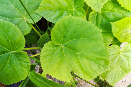 leaves of Paulownia Tomentosa tree in the garden. Closeup leaf of paulownia plant