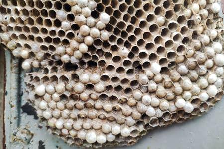 Paper wasp nest. vespula vulgaris house. Colony details