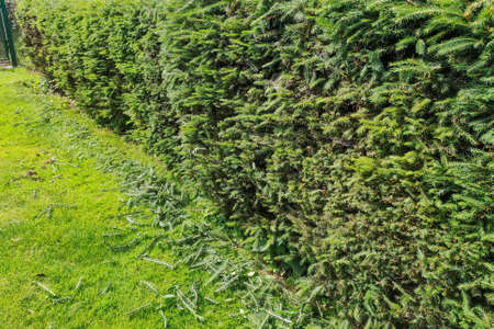A hedge being cut. Hedge styling. Gardening concept
