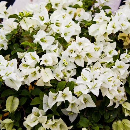 Flower Bougainvillea hybrida Stock Photo