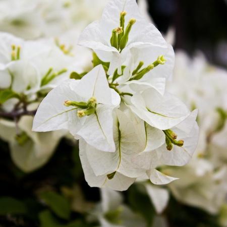 hybrida: Flower Bougainvillea hybrida Stock Photo