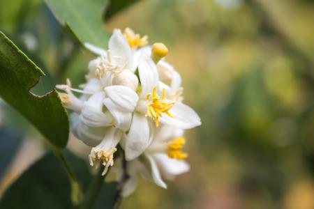 limetree: Blooming linden flowers