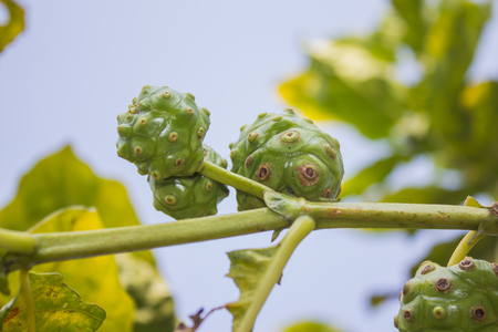 noni fruits on tree photo