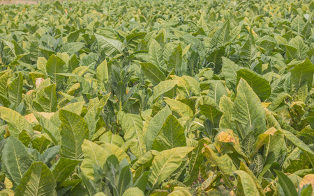 Farm tobacco plants are flowering. photo