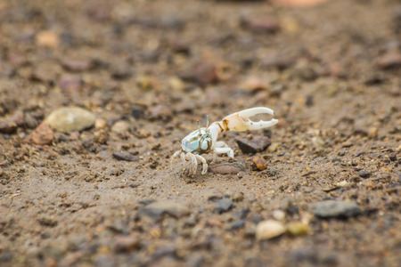 mangrove forest: crab at mangrove forest