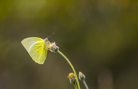 pieridae: Grass Yellow Butterfly