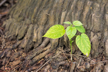 live again: New leaves sprouting from the trunk of a tree