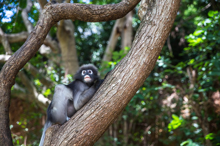gray langur: Dusky leaf, Dusky langur, Spectacled langur or Trachypithecus obscurus monkey resting on tree, Thailand