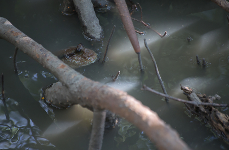 lungfish: Mudskippers in mangrove with water.