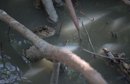 mesogobius: Mudskippers in mangrove with water.