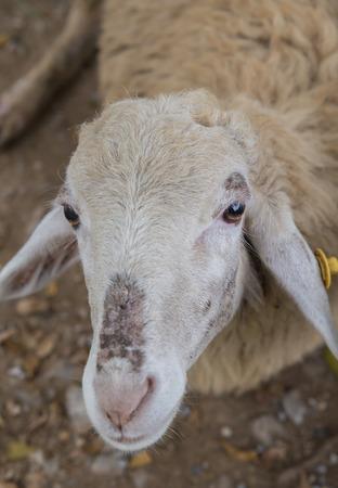 paddock: sheep walking around the pasture