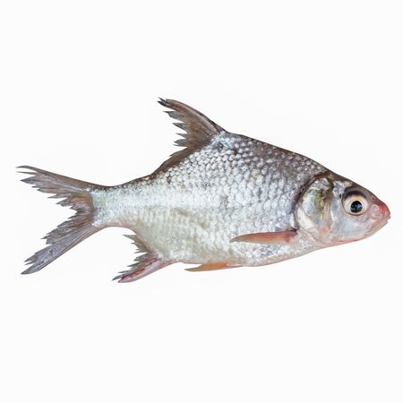freshwater fish: Cyprinidae or Silver barb is in the freshwater fish on white background and have clipping paths.
