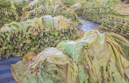 pinar: Tobacco leaves