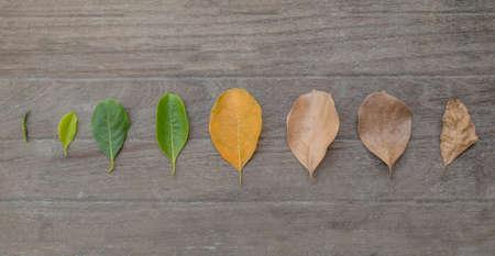 tabel: Concept season change of leaves jackfruit on tabel background