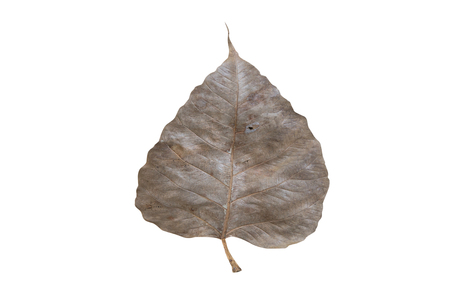 dry leaf: Pho dry leaf green on isolated