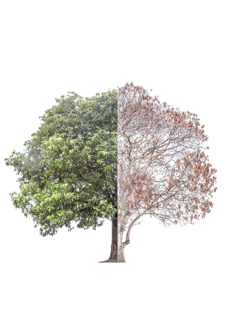 dry leaf: The tree was burned to death in half and the other half are still alive luxuriant green foliage. And repair the damage As the human body to heal the damage. This has isolated with clipping path. Stock Photo