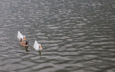 white duck: Swimming white duck in nature. Stock Photo