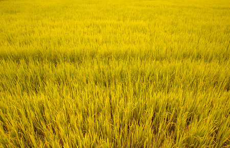 rice plant in rice field background Stock Photo