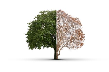 arboles frondosos: El árbol fue quemado hasta la muerte por la mitad y la otra mitad todavía están vivos follaje verde exuberante. Y reparar el daño A medida que el cuerpo humano para curar el daño. Esto ha aislado con trazado de recorte.