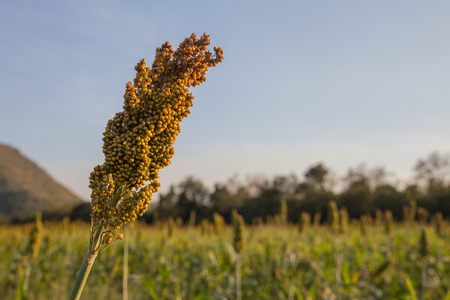 Millet in the farm evening light