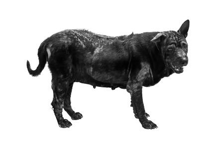 stray: Black dog isolated on white background Stock Photo