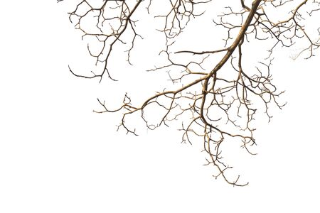 Dry branches Tree isolated on a white background