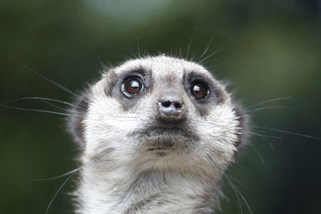stoat: Meerkat on guard