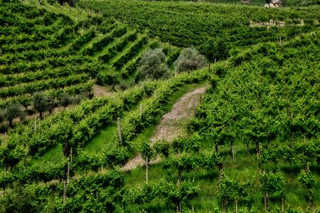 Picturesque hills with vineyards of the Prosecco sparkling wine, region in Valdobbiadene, Veneto, Italy.