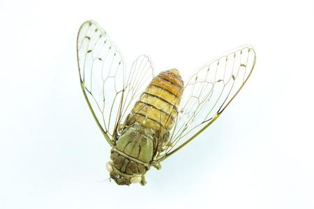 cigarra: Cigarra del insecto aislado en fondo blanco Foto de archivo