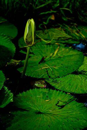 Lotus frog photo