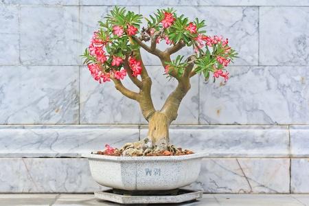 obesum: Flower pink