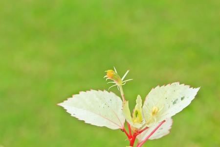 malvales: Macro flower