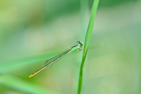 damselfly: Macro dragonfly