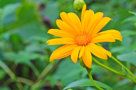 Yellow flower from the north of Thailand photo