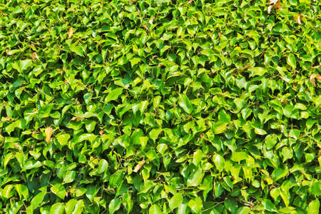 thai herb: Green bush