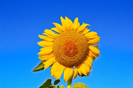 Sunflower at Lopburi in Thailand Stock Photo - 12230997