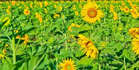 Sunflower at Lopburi in Thailand photo