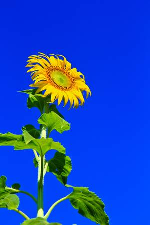 Sunflower at Lopburi in Thailand photo