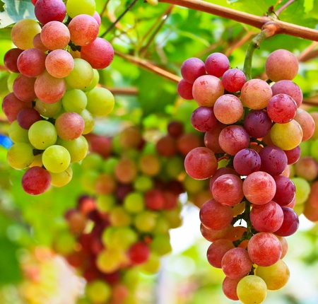 grape field: Grape