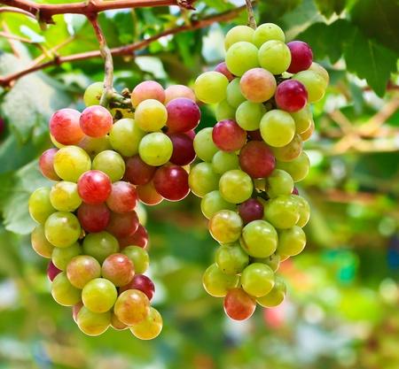 grape field: Grape