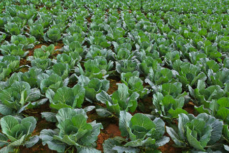 rowth: Vegetable at Phetchabun in Thailand