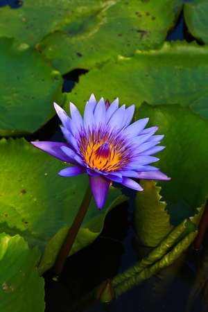 frondage: Lotus