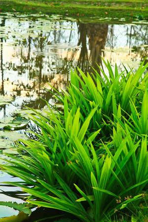 pandanus tree: Pool