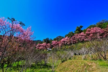 Kirschblüten Sakura Standard-Bild