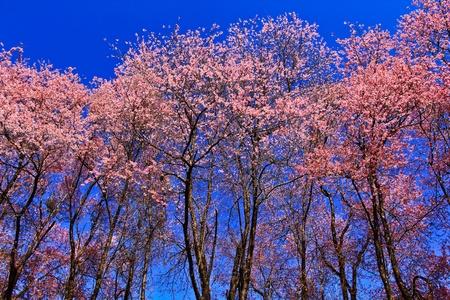 Cherry blossoms sakura photo